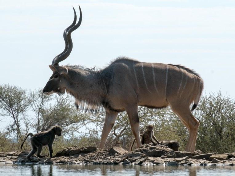 Antelope-6