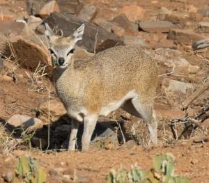 Antelope-7