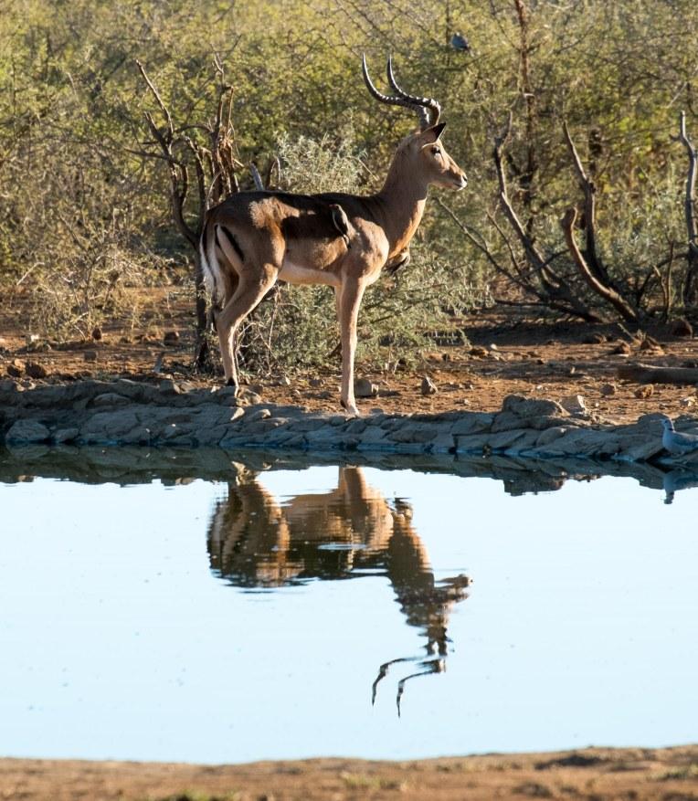 Antelope-8